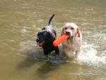 Dog retriever du labrador VAHINE et V\'SHADOW - Labrador Retriever  (0 months)