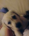 Nala - Labrador Retriever (3 months)