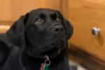 Labrador Retriever picture