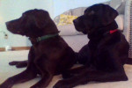 Gema (Left) Gage (Right) - Male Labrador Retriever (6 years)
