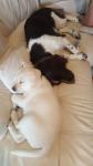 mes 2 amours - Labrador Retriever
