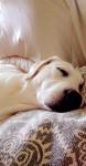 Ma Belle Nala - Labrador Retriever (7 months)