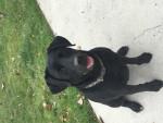 lexi - Labrador Retriever (4 years)