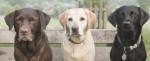 Trois Labradors marron, blanc et noir