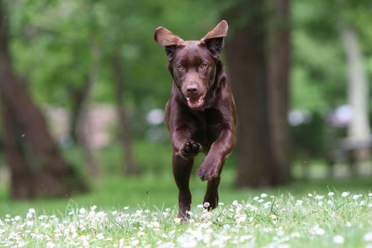 Un Labrador couleur chocolat court dans un champ de fleurs