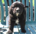 Sophia - Newfoundland (10 months)
