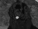 djedÏ - Male Newfoundland (8 years)