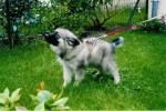 Shiro (bébé) - Male Keeshond (10 months)