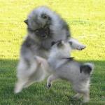 Jeux de Spitz-loups - Keeshond