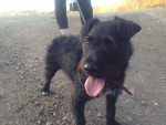 Paws - Male Patterdale Terrier (4 years)