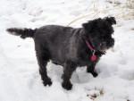 Pepsi - Male Patterdale Terrier