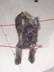 Dugan - Male Patterdale Terrier