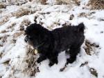 Parker - Male Patterdale Terrier