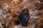 Patterdale Terrier picture