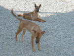 Carolina Dog picture