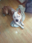 Ninho - Male American Pit Bull Terrier (1 year and 4 months)