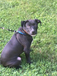 Tank - Male American Pit Bull Terrier (6 months)