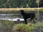 Curly coated retriever - Curly Coated Retriever