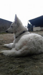 Joe - Male White Shepherd Dog (6 months)