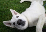 Falco - Male White Shepherd Dog (6 months)