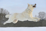Le Berger blanc suisse - White Shepherd Dog