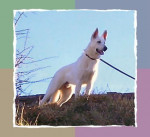 9 mois - White Shepherd Dog
