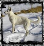 Première neige - White Shepherd Dog