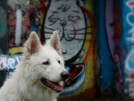 White Shepherd Dog picture