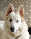 havey - White Shepherd Dog (4 years and 9 months)