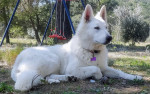 OSAKA - White Shepherd Dog (1 year and 1 month)
