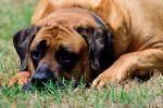 Old England Mastiff picture