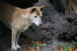 New Guinea singing dog picture