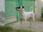 Male Bully Kutta picture