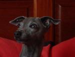 petit lévrier italien fabio des princes de minos - Italian Greyhound