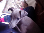Lupita - Italian Greyhound (7 months)