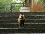 Raccoon dog picture