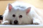 American Eskimo Dog picture
