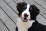 Le Bouvier Bernois - Bernese Mountain Dog