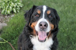 Arrow - Bernese Mountain Dog (8 years)