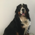 Mouss - Male Bernese Mountain Dog (3 years)