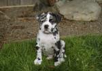 Alapaha Blue Blood Bulldog picture