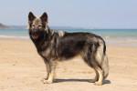 C'haërys - Old German Shepherd Dog (1 year)