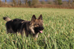 Eltänin - Old German Shepherd Dog (4 months)