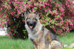 Nymëria - Old German Shepherd Dog (1 year and 4 months)