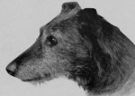 American Staghound picture