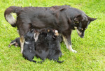 Lapponian Herder picture