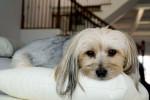 Layla - Morkie (6 years)