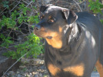 Rottweiler picture