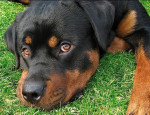 NUTEYLA - Male Rottweiler (1 year and 11 months)