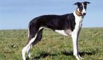 Polish Greyhound picture